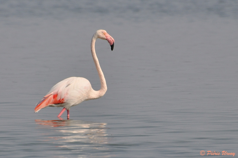 flamant rose 01.jpg