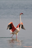 flamant rose 02