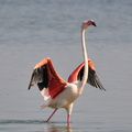 flamant rose 02||<img src=_data/i/upload/2010/11/15/20101115135537-27e69232-th.jpg>