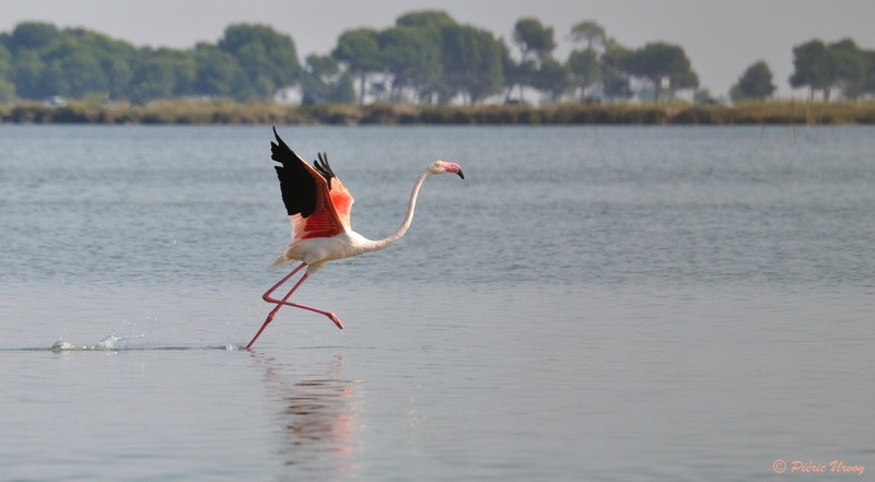 flamant rose 05.jpg