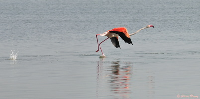 flamant rose 06